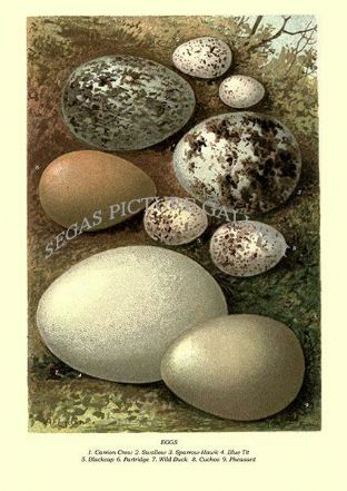 EGGS, Carrion Crow, Swallow, Sparrow-Hawk, Blue Tit, Blackcap, Partridge, Duck, Cuckoo, Pheasant